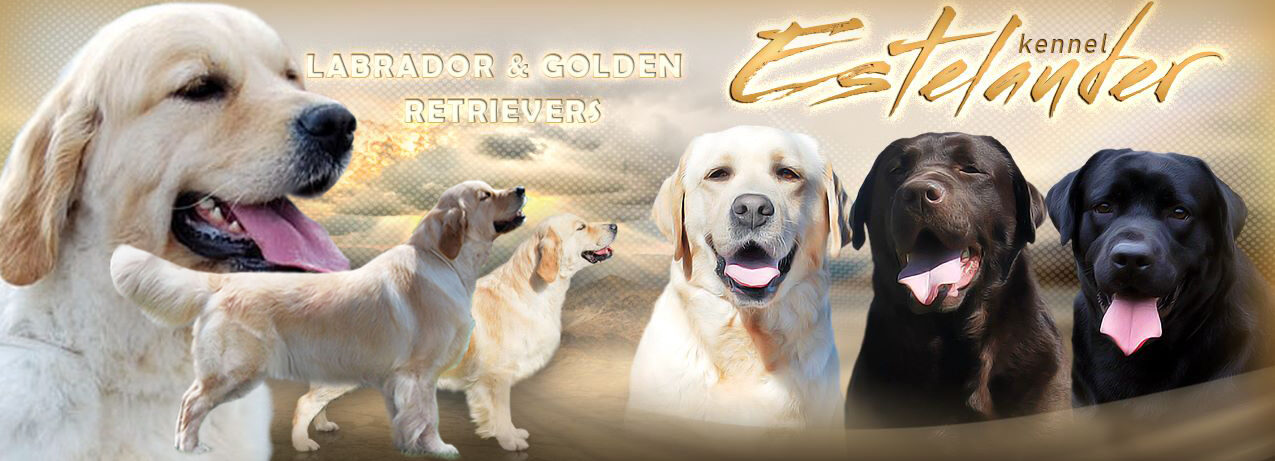 Kennel Estelauder - labradors and golden retrievers from Russia